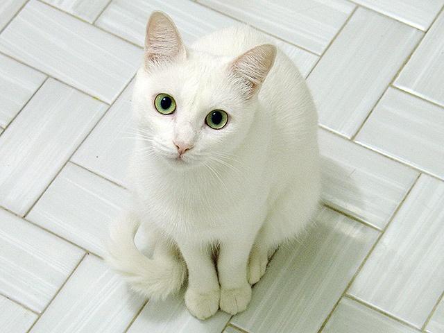 The Cat Collection №46 Простая белая кошка Фото