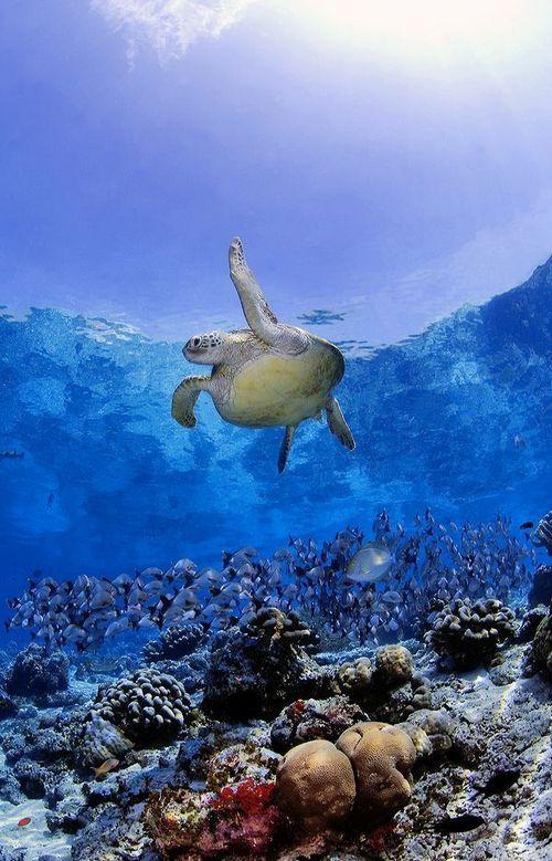 Морская черепаха и рыбы